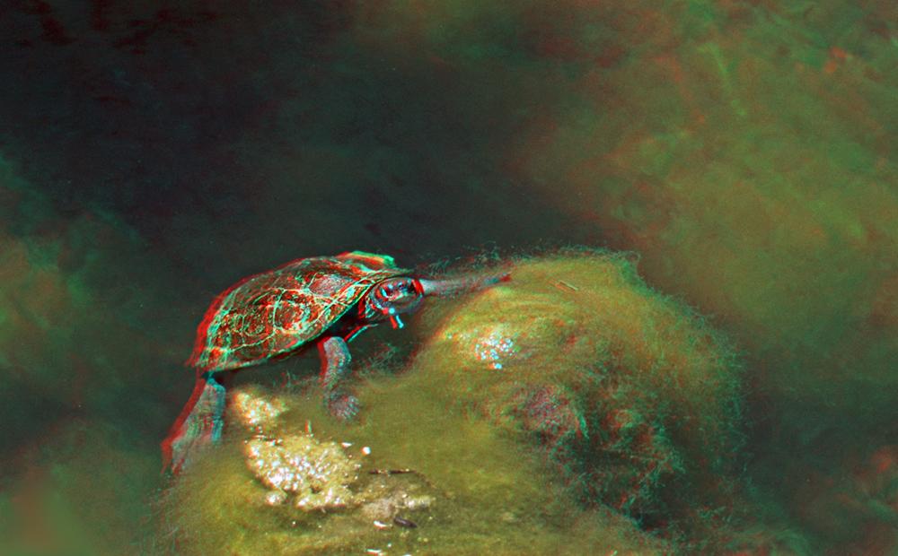 Schlidkröte im Graben
