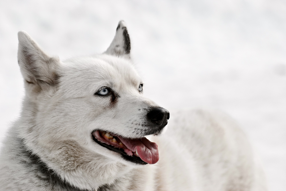 Schlittenhund - Husky White on White