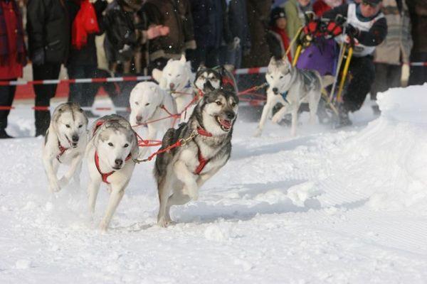 Schlittenhunde 2