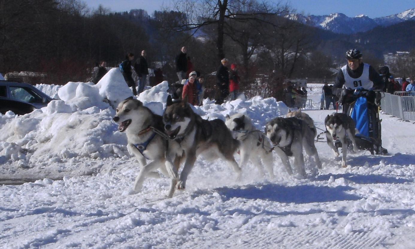 Schlittenhunde rennen