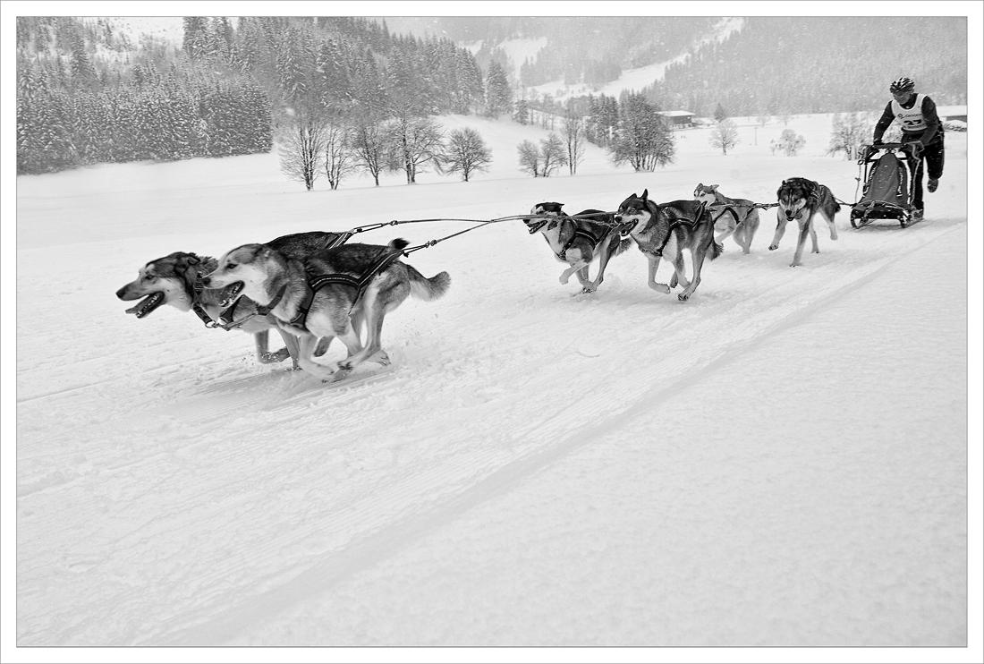 Schlittenhunde S/W ... 02.2013