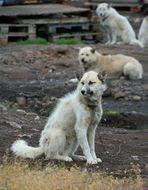Schlittenhunde von Sisimiuit