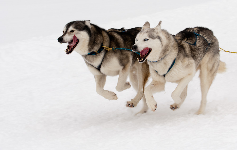 Schlittenhunderennen #1