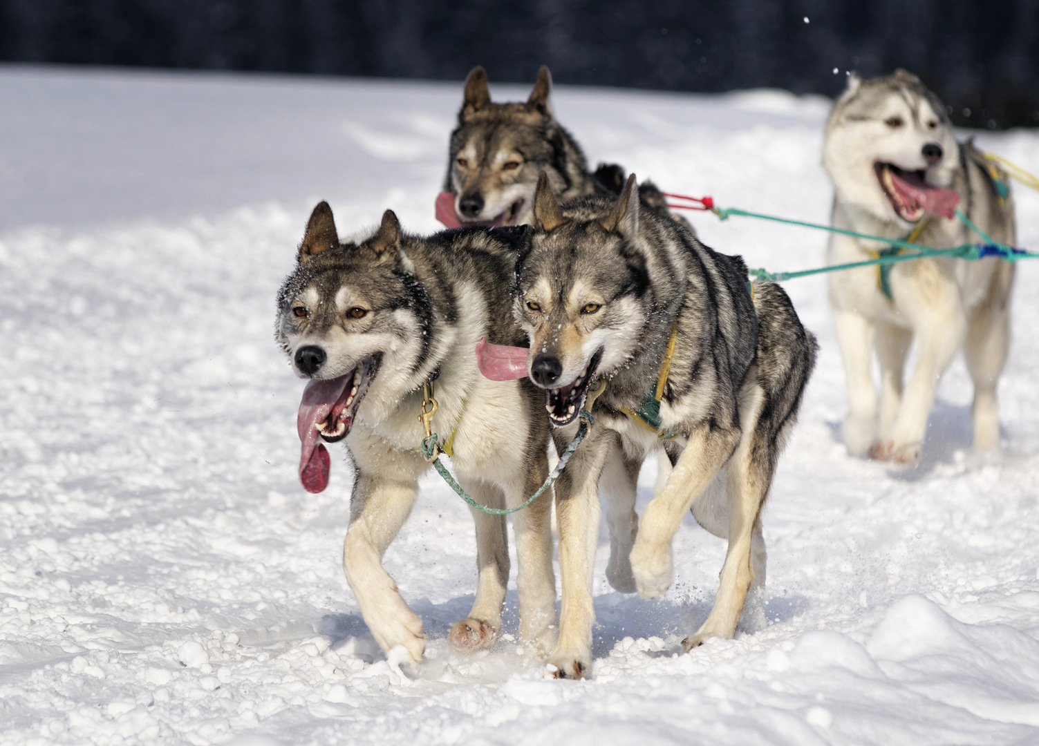 Schlittenhunderennen / ausgepowert