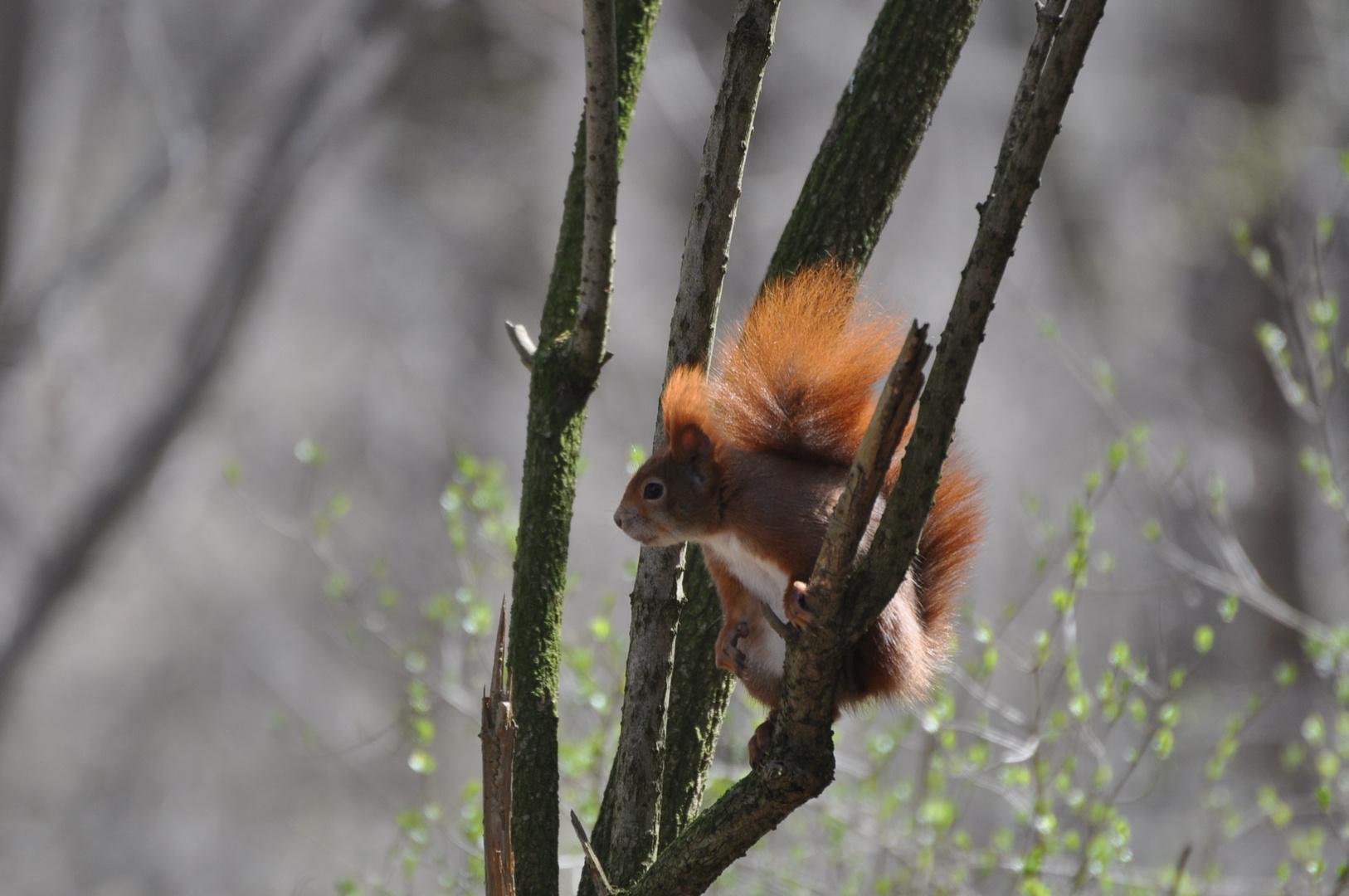 Schlopa-Hörnchen von Heute