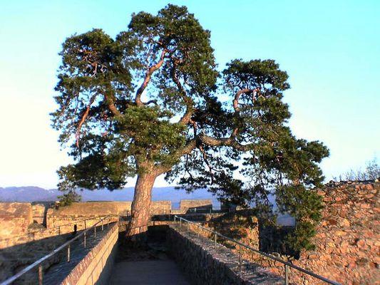 Schloß Auerbach Baum des Lebens