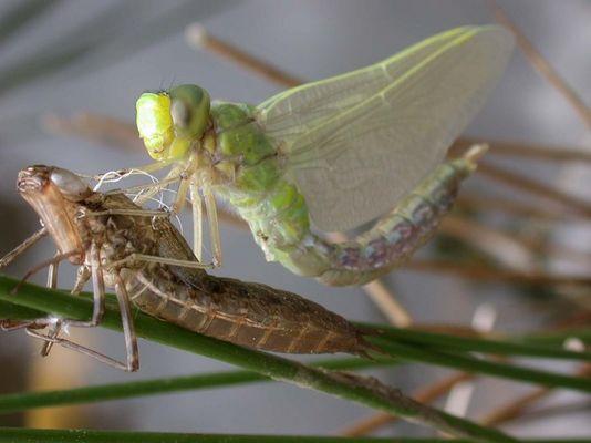 Schlüpfen einer Libelle