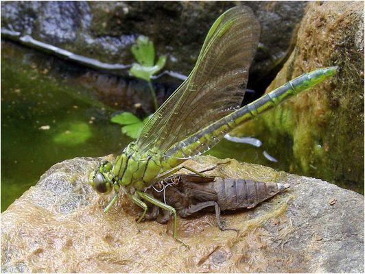 Schlüpfende Libelle