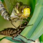 Schlüpfende Libelle 5