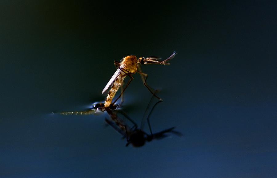 Schlüpfendes Stechmückenmännchen von Matthias Frei