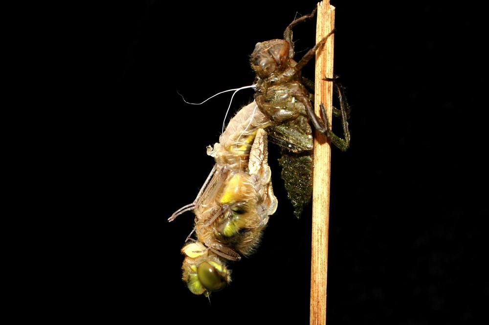 Schlüpfvorgang einer Libelle 1