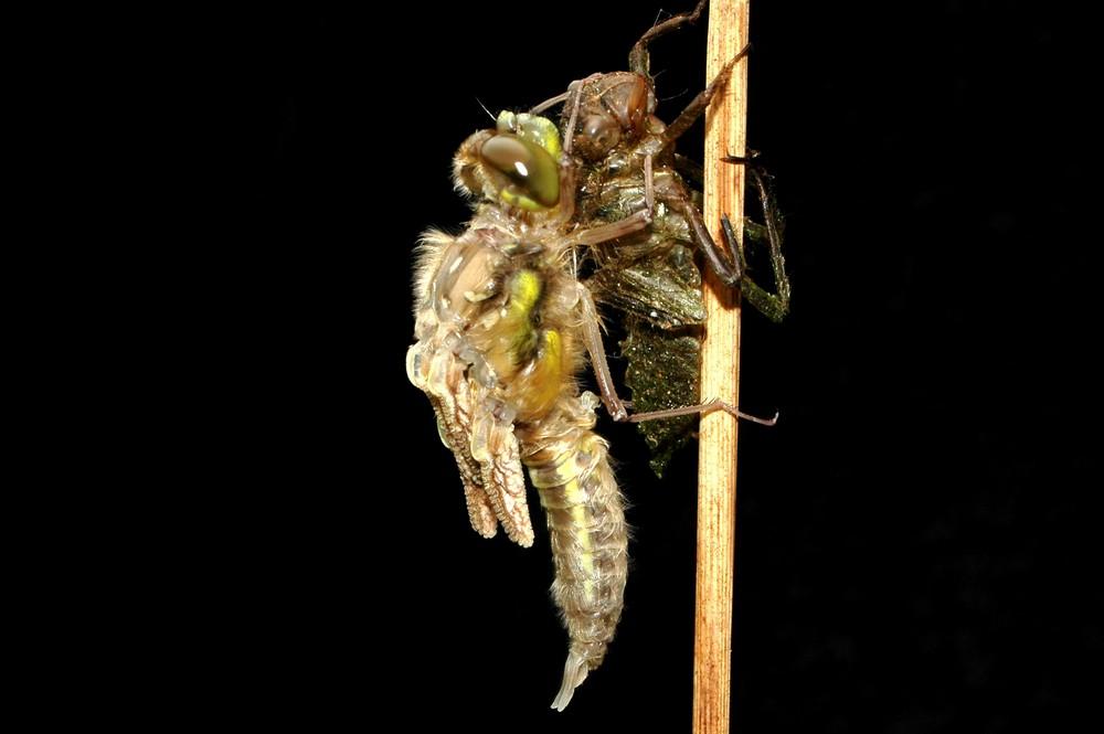 Schlüpfvorgang einer Libelle 2