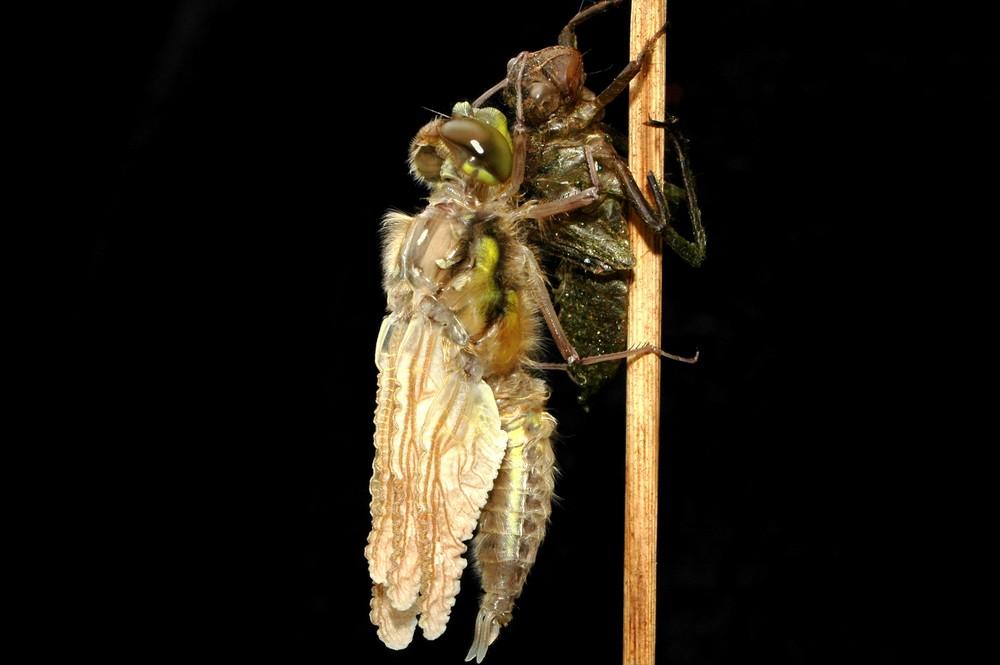 Schlüpfvorgang einer Libelle 3