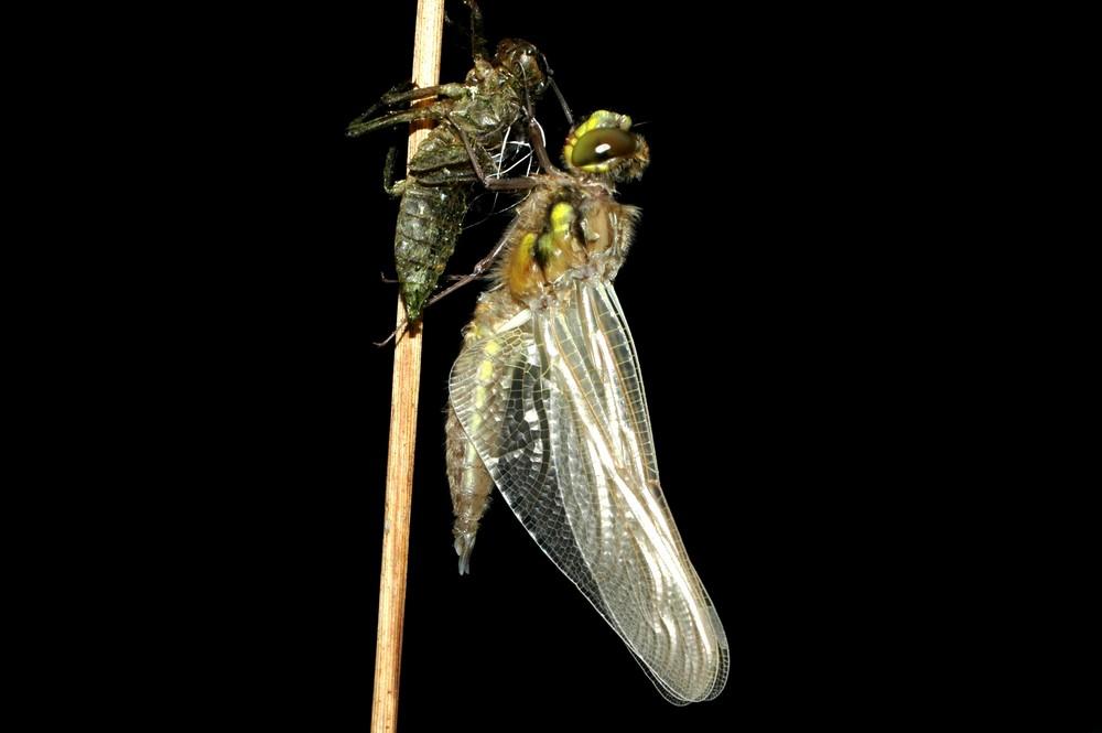 Schlüpfvorgang einer Libelle 4