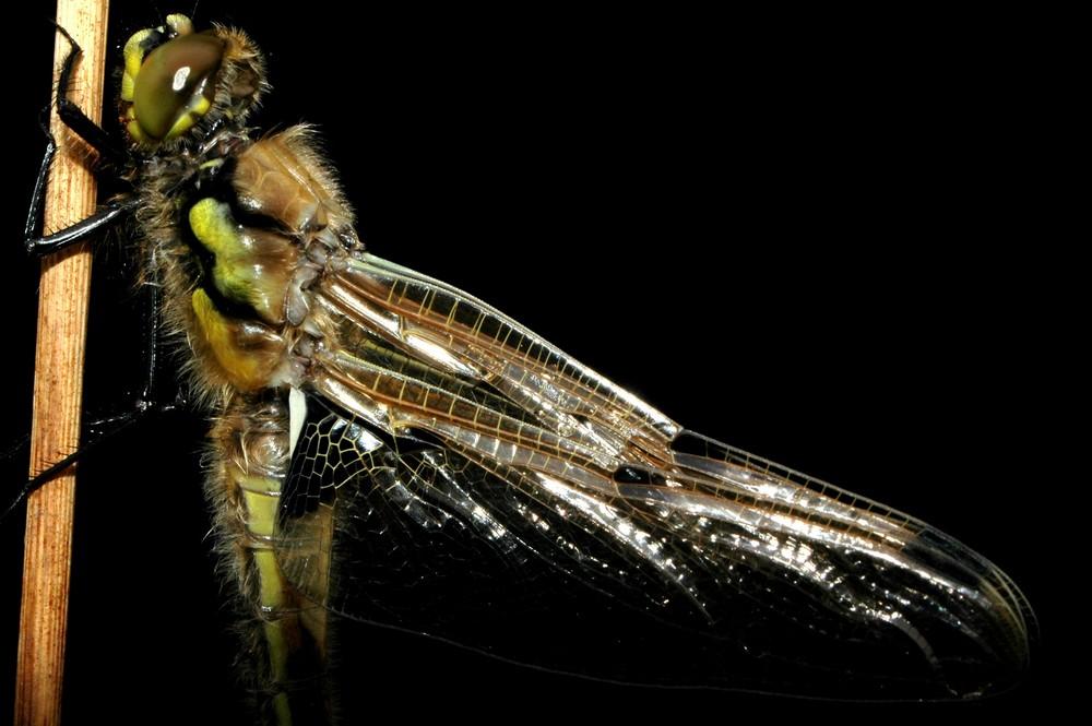 Schlüpfvorgang einer Libelle 5
