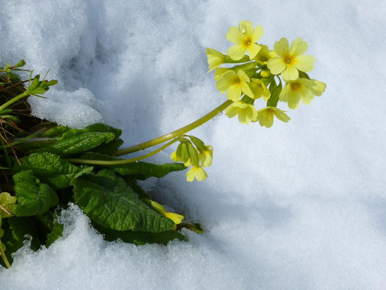 Schlüsselblume im Schnee