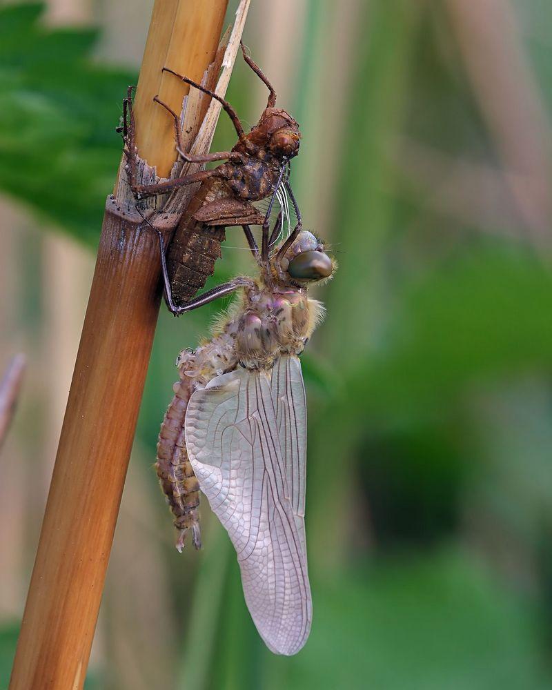 Schlupf der Falkenlibellen (Corduliidae)