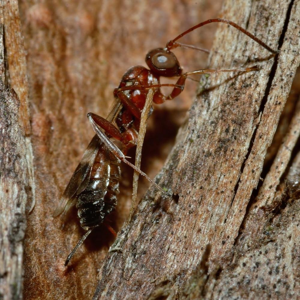 Schlupfwespe Ichneumonidae