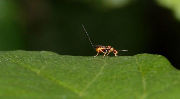 Schlupfwespe (Ichneumonidae) mit Legestachel...