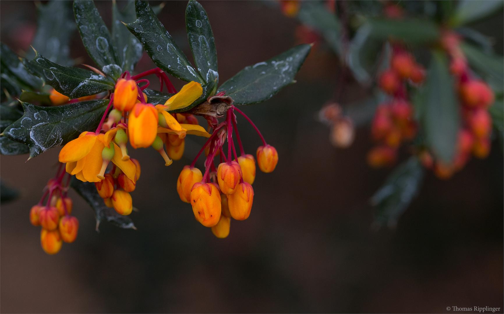 Schmalbätrige Berberitze (Berberis linearifolia)