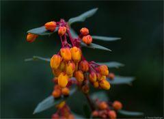 Schmalbätrige Berberitze (Berberis linearifolia).