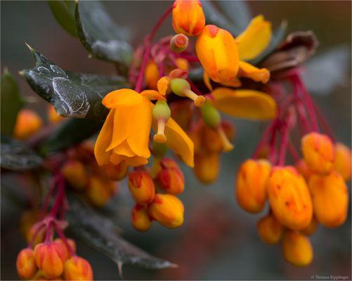 Schmalbätrige Berberitze (Berberis linearifolia)..