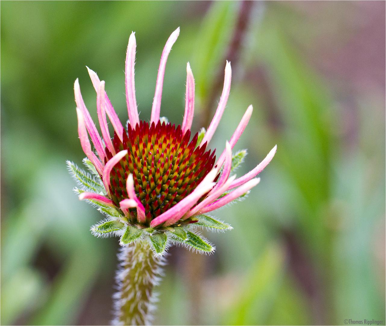 Schmalblättriger Scheinsonnenhut (Echinacea angustifolia) .