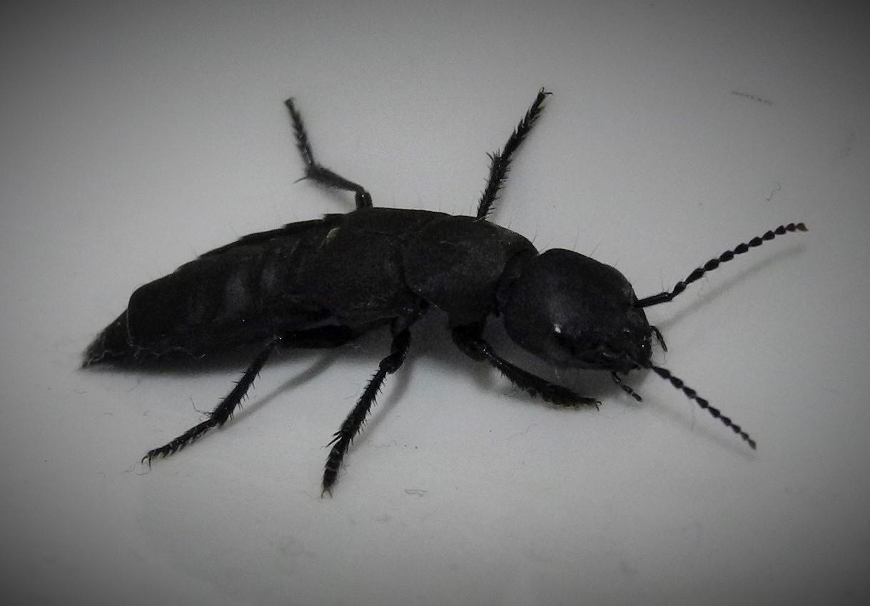 schmaler schwarzer k fer foto bild tiere wildlife. Black Bedroom Furniture Sets. Home Design Ideas