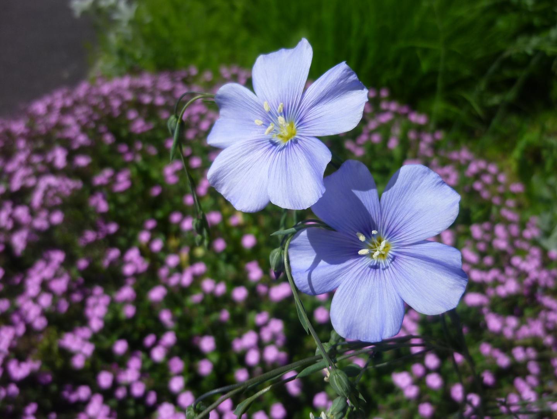 Schmallblättriges Lein (Blau)