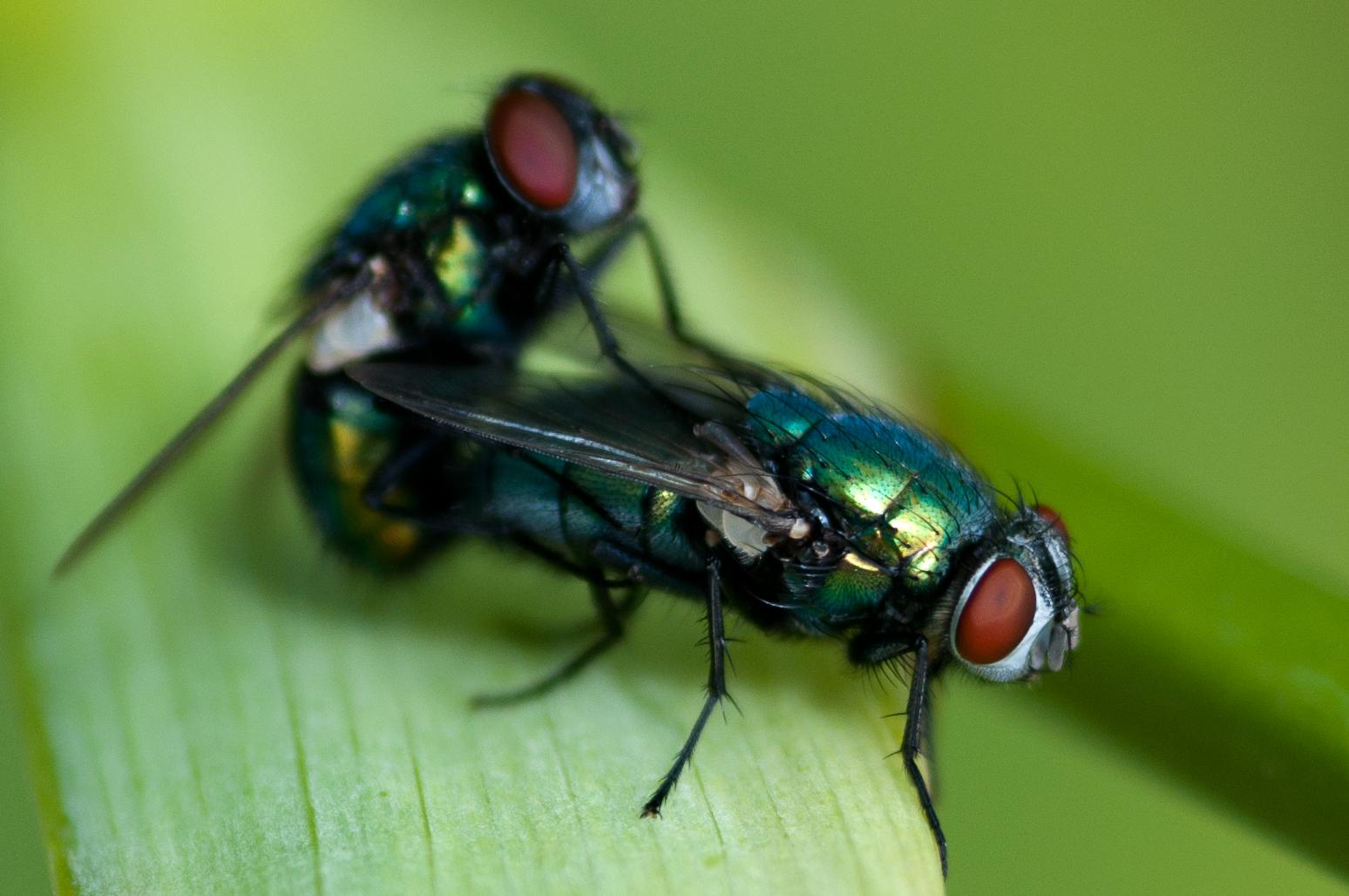 schmei fliegen bei der paarung foto bild tiere wildlife insekten bilder auf fotocommunity. Black Bedroom Furniture Sets. Home Design Ideas