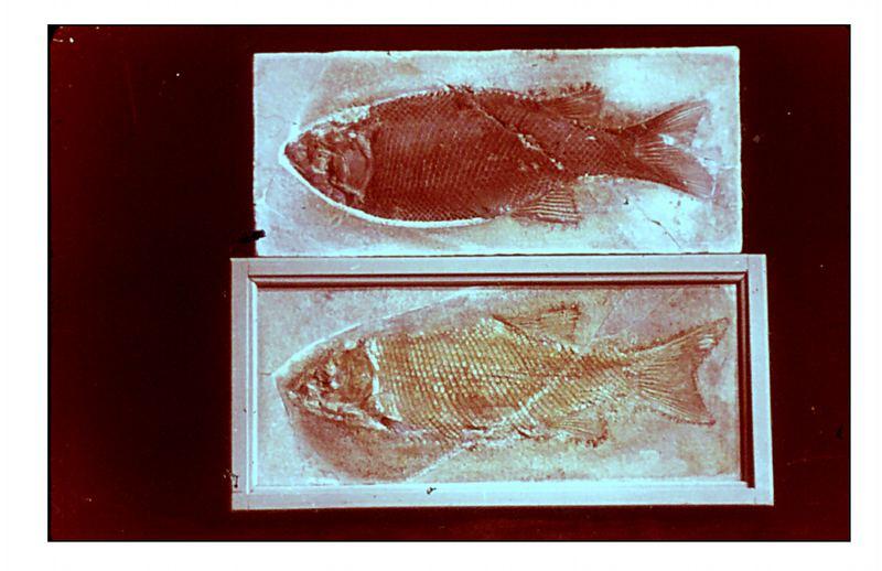 Schmelzschuppenfisch -. Lepidotus