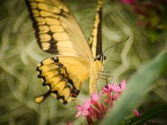 Schmetterfling