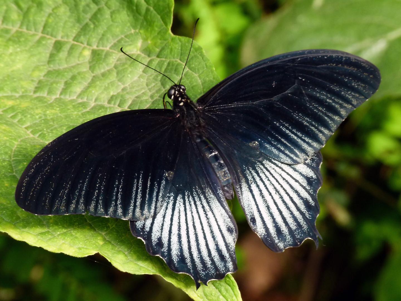 Schmetterling 01