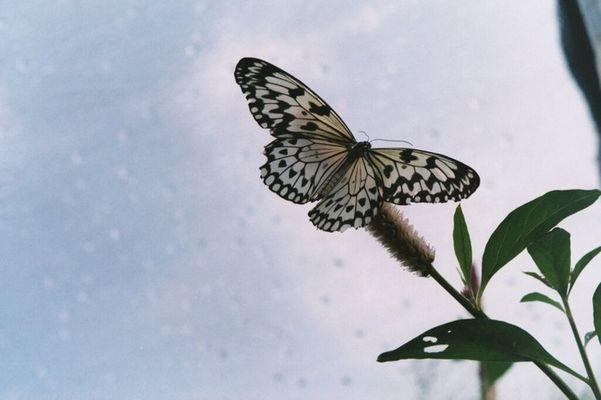 Schmetterling-02