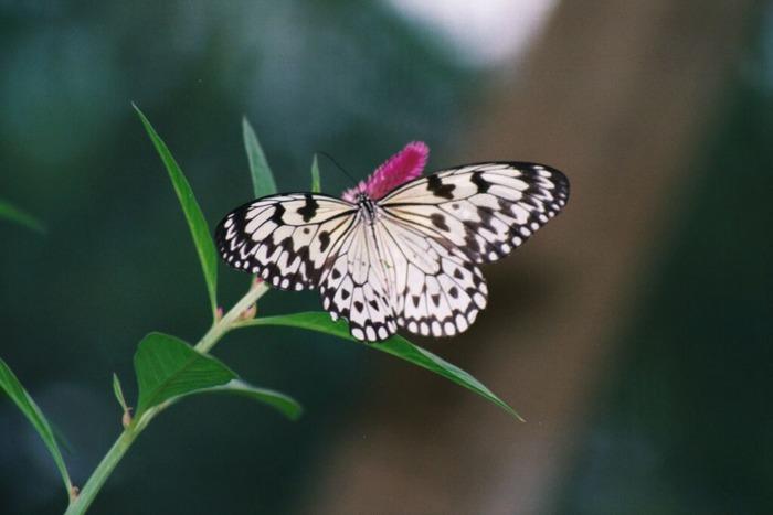 Schmetterling-04
