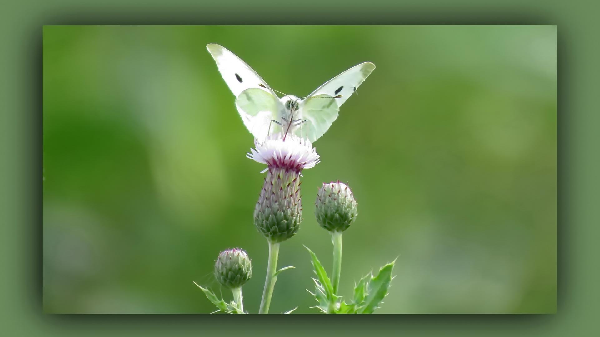 Schmetterling ..............
