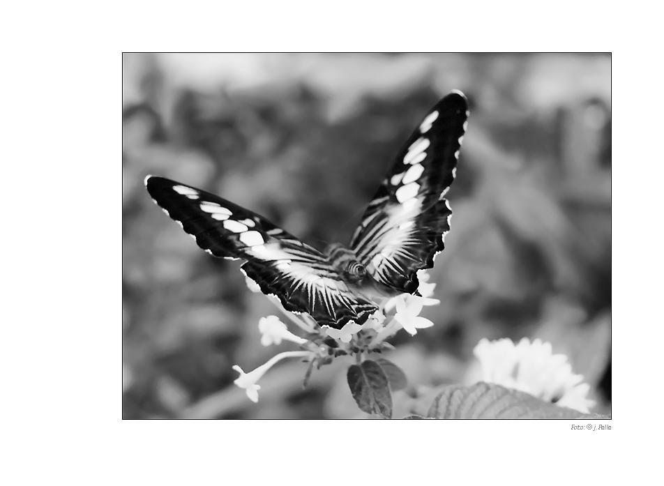 Schmetterling 0904