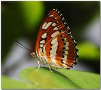 *Schmetterling*