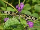 ~Schmetterling 1~