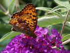 Schmetterling ...1...