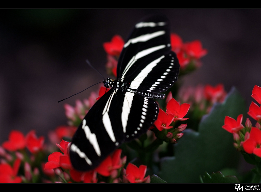Schmetterling #1