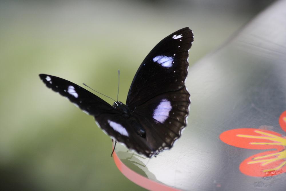Schmetterling (2)