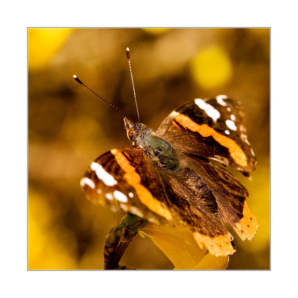 - Schmetterling 2 -