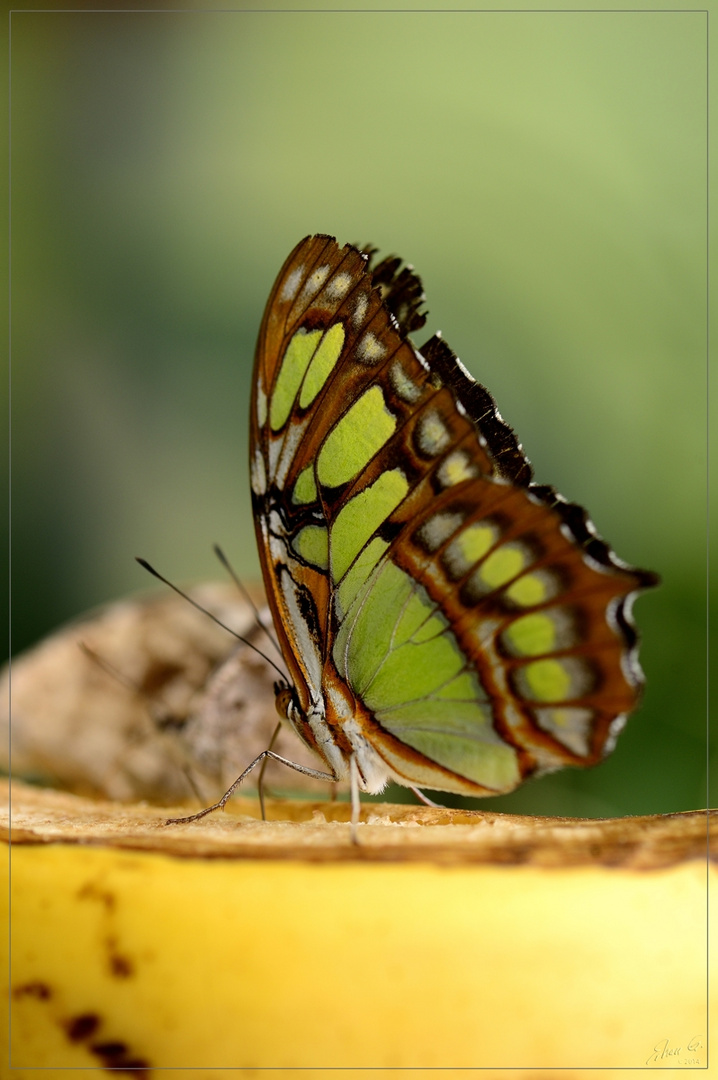 ***Schmetterling 2***