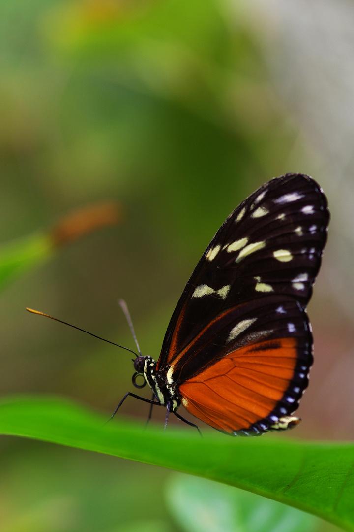 -Schmetterling -2