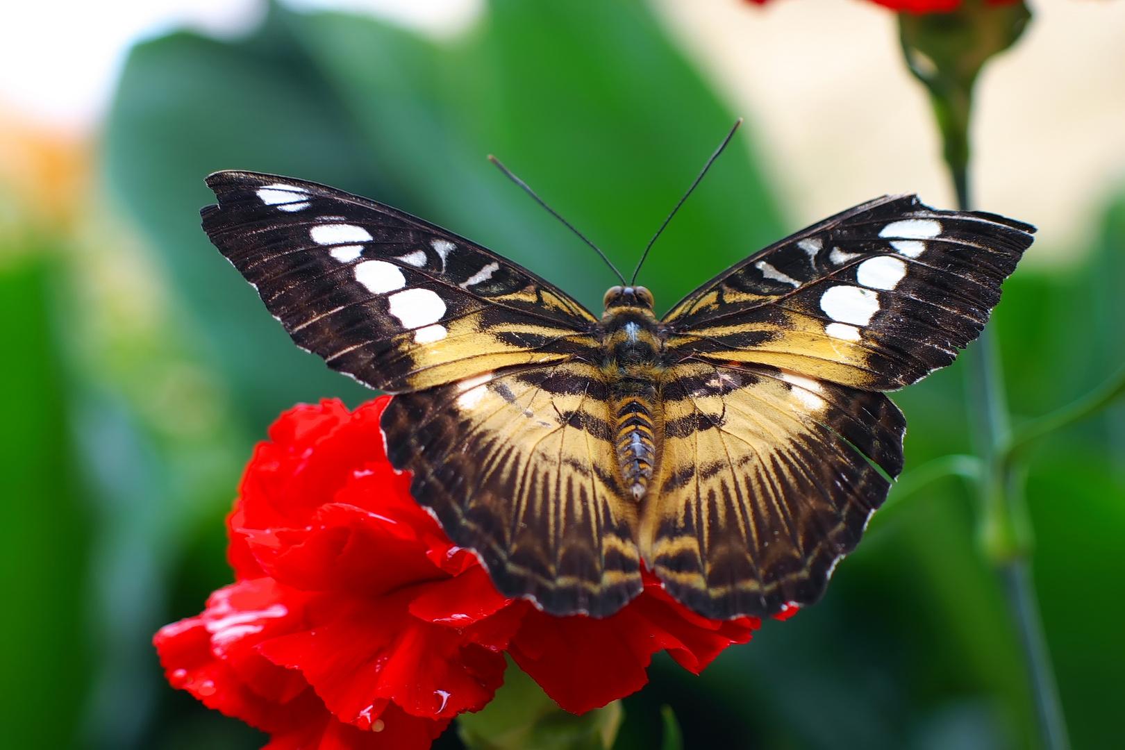 Schmetterling 2