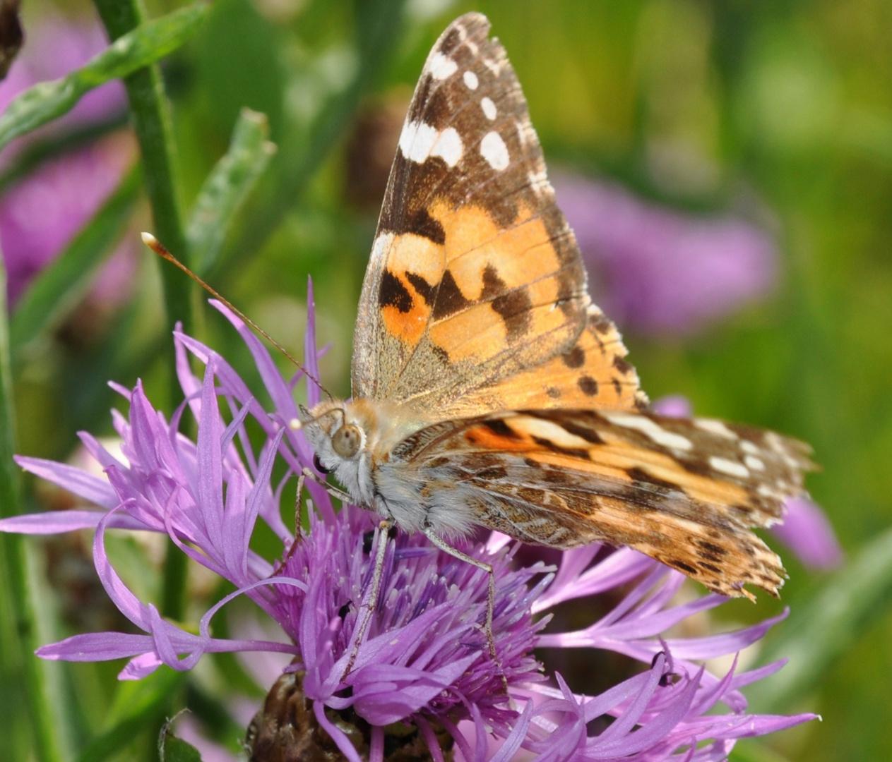 Schmetterling 24: Distelfalter