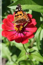 Schmetterling <3