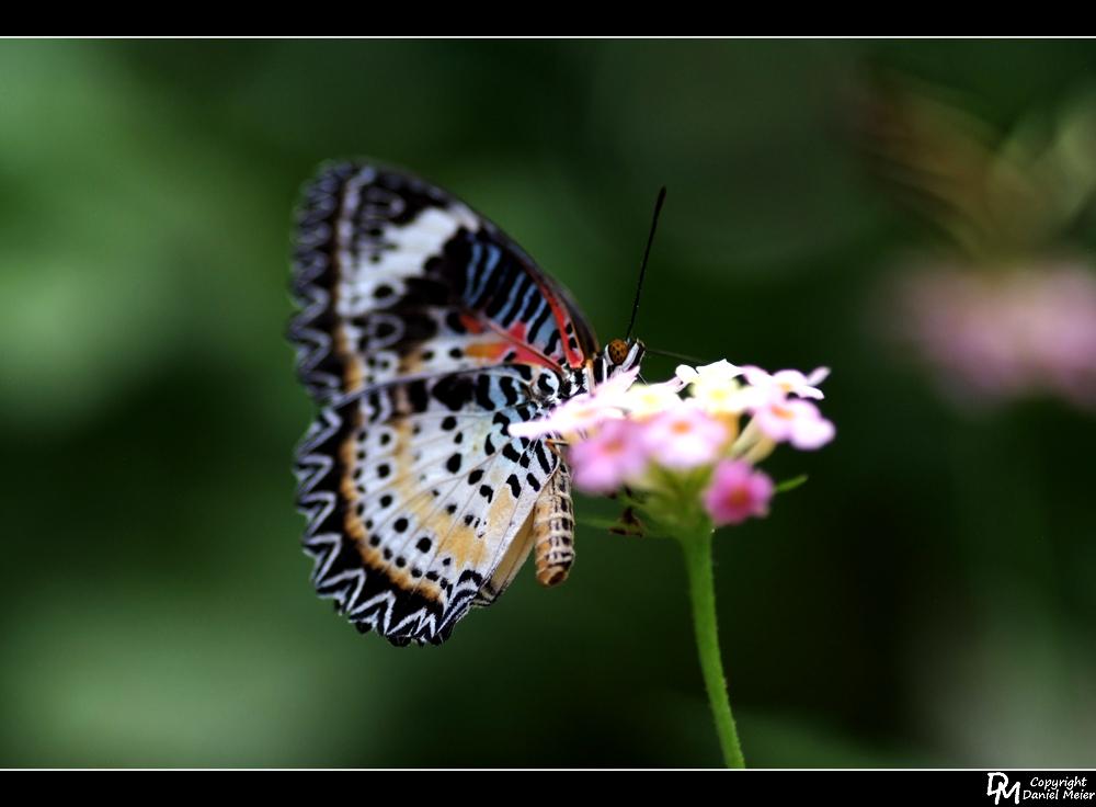 Schmetterling #3