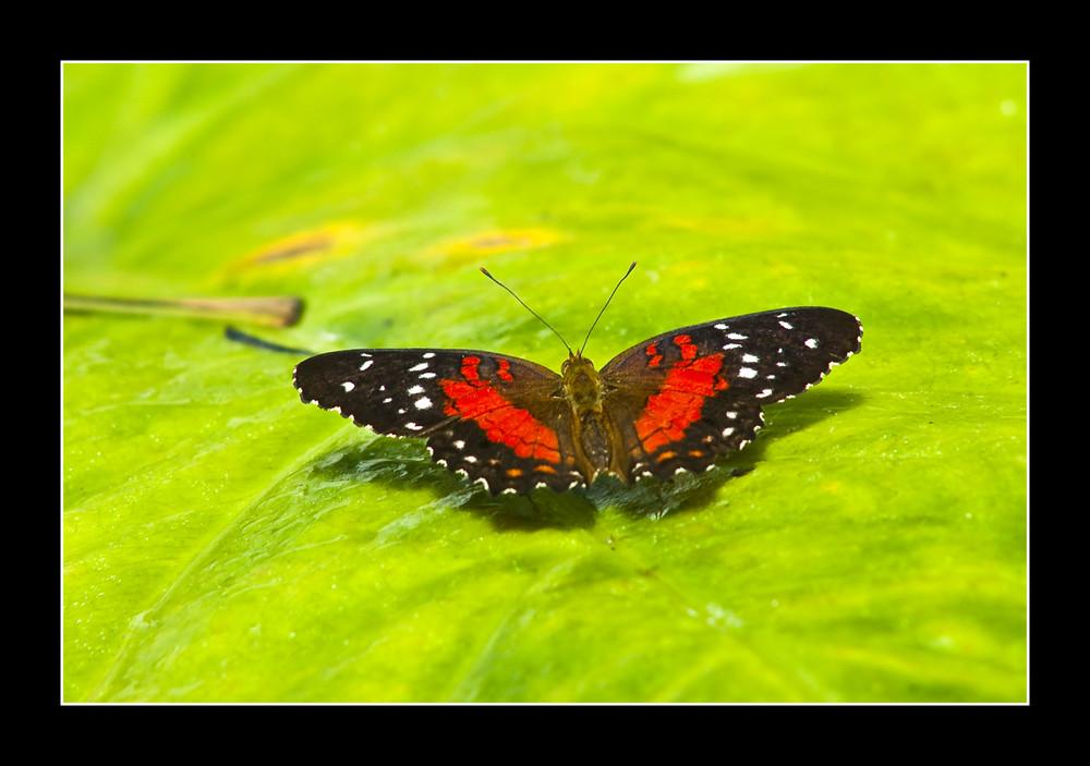 Schmetterling # 3